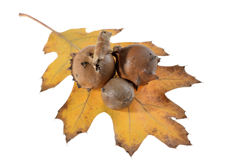 oak galls ,acorns ,placed on leaves isolated on white background.Tree infection Stock Photo