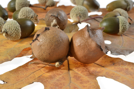 oak galls ,acorns ,placed on leaves.Tree infection Stock Photo