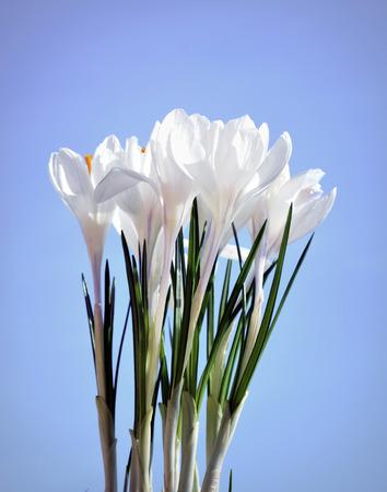white crocus, harbinger of spring, background sky Stock Photo