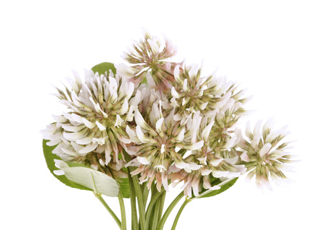 Trifolium repens-White clover isolated on white background Stock Photo