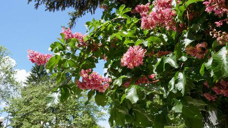 Closeup of a blossoming red horse chestnut tree/Aesculus carnea/ on sunny day with a blue sky in springtime.