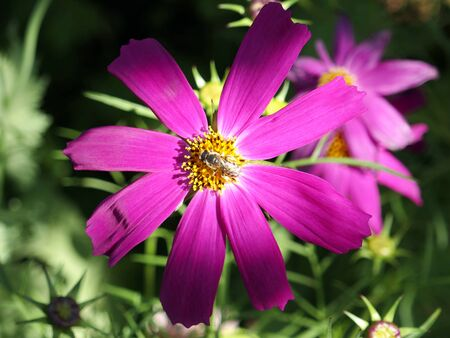 One pink cosmos in flower with a bee in the garden