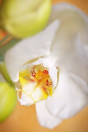 White orchid  photo