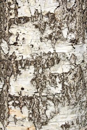 summaries: Birch bark