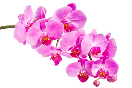 Pink orchid on a white background Stock Photo