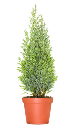 Cypress in pot, isolated on white background Stock Photo