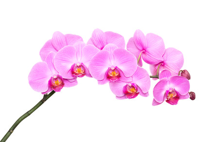 Pink orchid on a white background photo