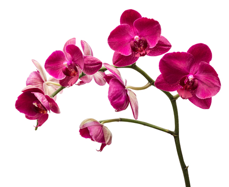 isolation: Orchid flowers isolated on white background