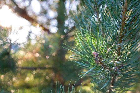 Evergreen branch pine tree