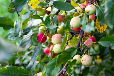 Chinese apples on a branch Stock Photo