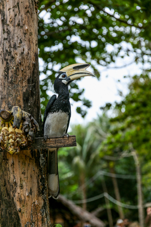 Close up portrait of Oriental pied hornbill Anthracoceros albirostris with banana in nature Stock Photo