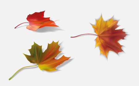 sycamore: Three fallen yellow maple leaf
