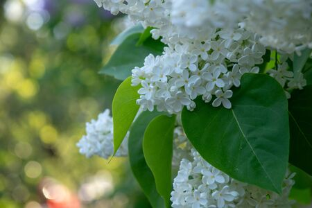 blooming bird cherry in a city park on a sunny spring day Stok Fotoğraf