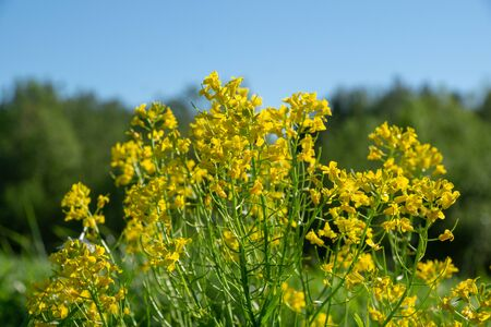 wild yellow flowers growing on a field in the countryside on a sunny spring day against the blue sky Stok Fotoğraf