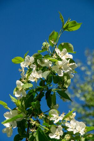 blooming apple tree in a city park on a sunny spring day against the blue sky