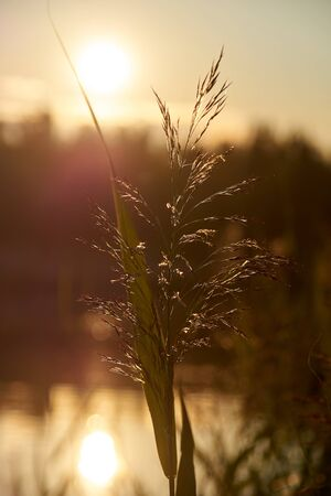 Reed at sunset. Backlit Photography Stok Fotoğraf