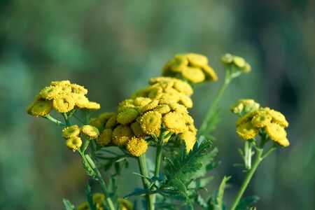 common tansy (Tanacetum vulgare, Chrysanthemum vulgare) blooming