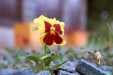 Red and Yellow Pansy. shot with blurred background
