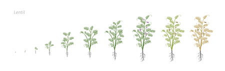 Lentil Soybean Lens culinaris. Growth stages vector illustration Иллюстрация
