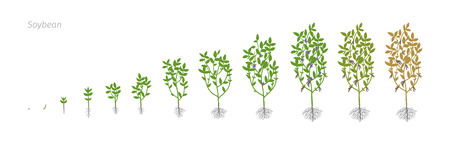 Soybean Glycine max. Growth stages vector illustration Çizim