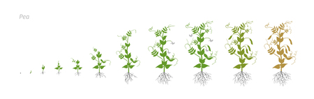 Pea Pisum sativum Vector Illustration of the peas growing plants. Determination of the growth stages biology Illustration