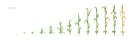Wheat grass plant Vector Illustration of the growing plants. Determination of the growth stages biology Triticum Illustration