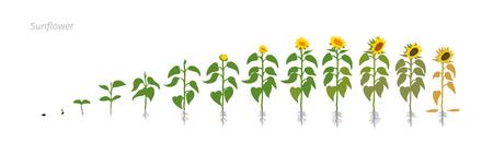 Słonecznik roślin. Helianthus annuus. Etapy wzrostu wektora ilustracji.