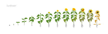 Sunflower plant. Helianthus annuus. Growth stages vector illustration.