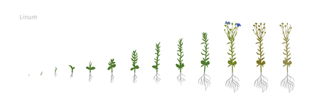 agronomist: Flax Linum usitatissimum Growth stages vector illustration