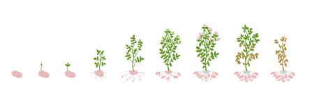 Solanum tuberosum potato illustration growing plants.