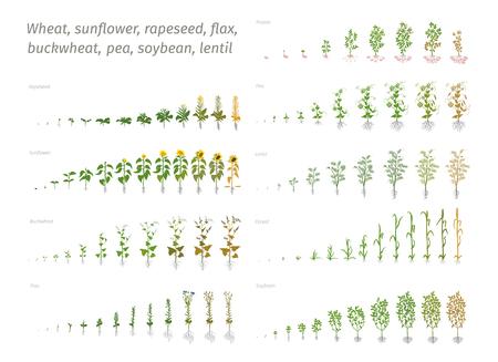 Tournesol colza lin sarrasin pois soja pomme de terre blé. Vecteur montrant la progression des plantes en croissance. Détermination de la biologie des stades de croissance Vecteurs