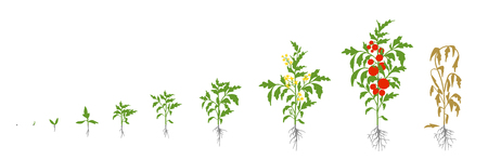 Tomato plant. Growth stages vector illustration. Solanum lycopersicum. Ripening period. From sprout to bush with fruits. The life cycle of the tomatoes. Root system. Greenhouses and use fertilizers. Flat color drawing.