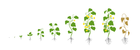 Cucumber plant. Growth stages. Vector illustration. Cucumis sativus. Ripening period. The life cycle of the cucumbers. Root system. Use fertilizers. Flat color hand drawn drawing on white background. Ilustrace
