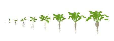 Zuckerrübenpflanze. Wachstumsstadien. Vektor-Illustration. Beta vulgaris subsp. Reifezeit. Der Lebenszyklus. Verwenden Sie Düngemittel. Flache Farbzeichnung auf weißem Hintergrund. Eine Zuckerrübe ist eine Pflanze, deren Wurzel eine hohe Konzentration an Saccharose enthält und die kommerziell zur Zuckerproduktion angebaut wird.