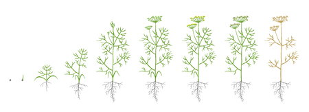 Dill, fennel plant. Growth stages. Vector illustration. Anethum. Ripening period. Dill life cycle with root and seeds Use fertilizers. Flat color draw on white background.