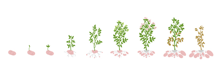 Potato growth stages. Growing plants. Solanum tuberosum. The life cycle of the potato plant. Root system biology. Use fertilizers. Colorful vector flat illustration stock clipart on white background. Ilustracja