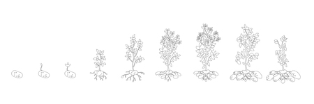 Potato growth stages. Growing plants. Solanum tuberosum. The life cycle of the potato plant. Root system biology. Use fertilizers. Gray lines outline contour style vector illustration stock clipart on white background. Illustration