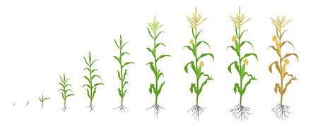 Groeistadia van maïsplant. Maïs fasen. Vector illustratie. Zea mays. Rijpingsperiode. De levenscyclus. Gebruik meststoffen. Op witte achtergrond. Egale kleur tekening op witte achtergrond. Maïs wordt over de hele wereld op grote schaal verbouwd.