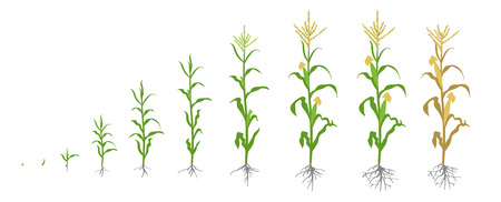 Growth stages of Maize plant. Corn phases. Vector illustration. Zea mays. Ripening period. The life cycle. Use fertilizers. On white background. Flat color drawing on white background. Maize is widely cultivated throughout the world.