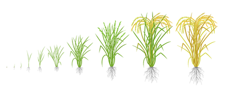 Growth stages of rice plant. Rice increase phases. Vector illustration. Oryza sativa. Ripening period. The life cycle. Use fertilizers. On white background. It is the agricultural commodity with the third-highest worldwide production. Ilustração
