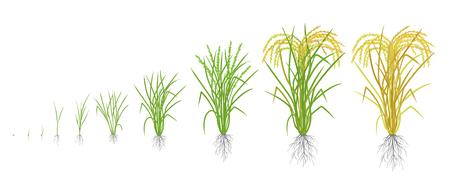 Stades de croissance du plant de riz. Phases d'augmentation du riz. Illustration vectorielle. Oryza sativa. Période de maturation. Le cycle de vie. Utilisez des engrais. Sur fond blanc. C'est la denrée agricole avec la troisième production mondiale la plus élevée.