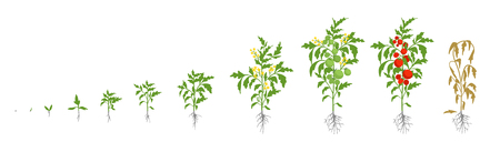 Growth stages of tomato plant. Vector illustration. Solanum lycopersicum. Ripening period. From sprout to bush with fruits. The life cycle of the tomatoes. Root system. Greenhouses and use fertilizers. Flat color drawing.