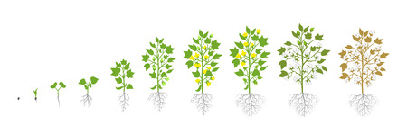 Growth stages of Cotton plant. Plant increase phases. Vector illustration. Gossypium from which cotton is harvested. Ripening period. The life cycle. Use fertilizers. On white background. It is the ag