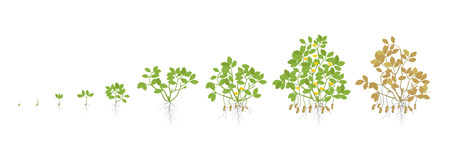 Growth stages of peanut plant. Peanut increase phases. Vector illustration. Arachis hypogaea. The life cycle. Also known as the groundnut, goober or monkey nut. Ripening period. On white background.