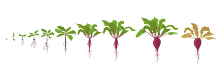 Growth stages of red beetroot plant. Vector illustration. Beta vulgaris. Taproot life cycle. On white background. Also known as the table beet, garden beet, red beet or golden beet. Banco de Imagens - 124729302