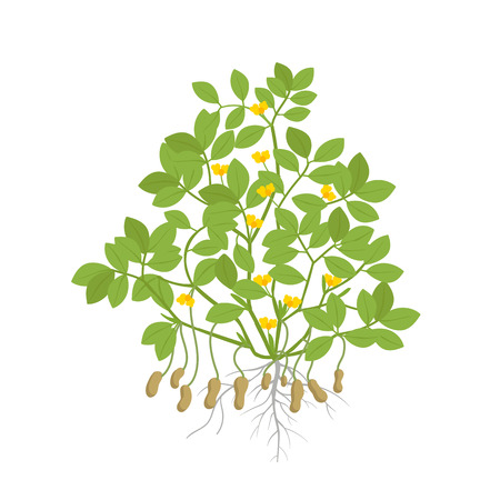 Peanut plant. Plant with roots and tubers flowers and leaves. Legumes nut. Vector illustration. Arachis hypogaea. Also known as the groundnut, goober or monkey nut. Stock clipart on white background.