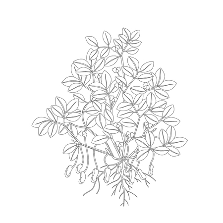 Peanut plant. Plant with roots and tubers flowers and leaves. Legumes nut. Vector illustration. Arachis hypogaea. Also known as the groundnut, goober or monkey nut. Gray lines outline contour style vector illustration stock clipart on white background.