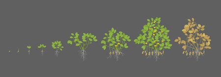 Growth stages of peanut plant. Peanut increase phases. Vector illustration on a dark background. Arachis hypogaea. Also known as the groundnut, goober or monkey nut. The life cycle. Ripening period.