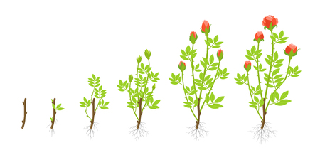 Growth stages of garden roses plant. Vector illustration. Shoots from cuttings. Rosa abyssinica rosaceae. On white background. Grown as ornamental plants in private or public gardens. Ilustração