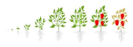 Etapas de crecimiento de la planta de pimiento. Ilustración de vector. Capsicum annuum. Ciclo de vida del pimiento dulce. Sobre fondo blanco. También conocido como pimiento dulce o pimiento